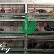 قفس مرغ و خروس زینتیwww.paravar (1) (1)