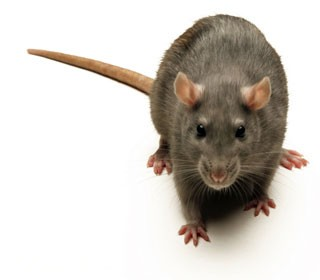 موش در سالن مرغداری
