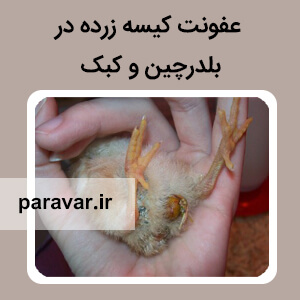 عفونت کیسه زرده در بلدرچین و کبک