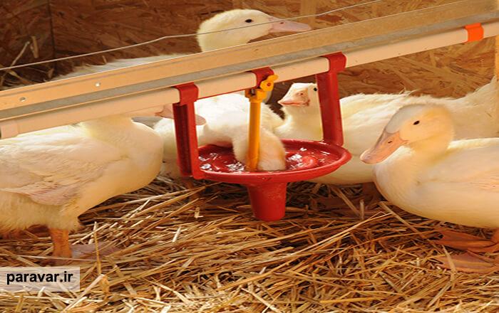 سالن پرورش اردک