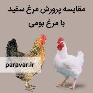 مقایسه پرورش مرغ سفید با مرغ بومی