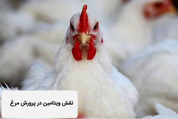 نقش ویتامین در پرورش مرغ