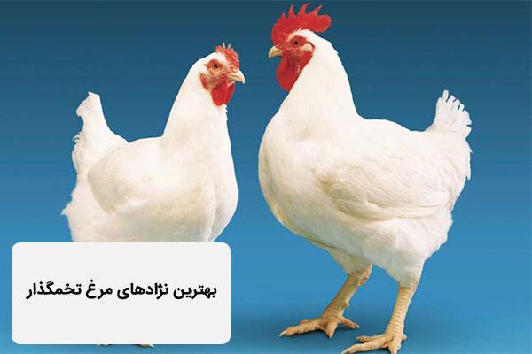 بهترین نژادهای مرغ تخمگذار