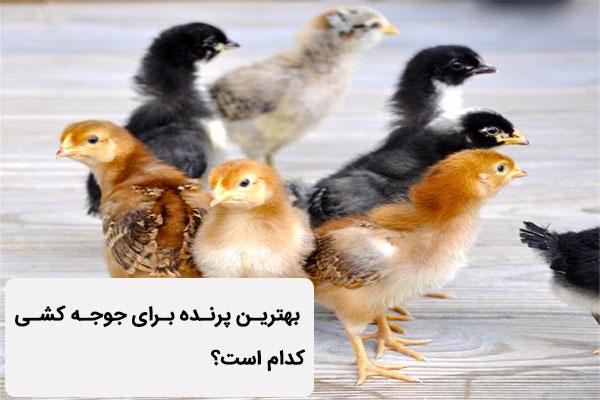 بهترین پرنده برای جوجه کشی کدام است؟