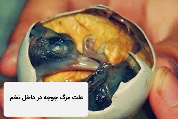 علت مرگ جوجه در داخل تخم