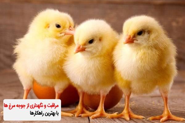 مراقبت و نگهداری از جوجه مرغ ها